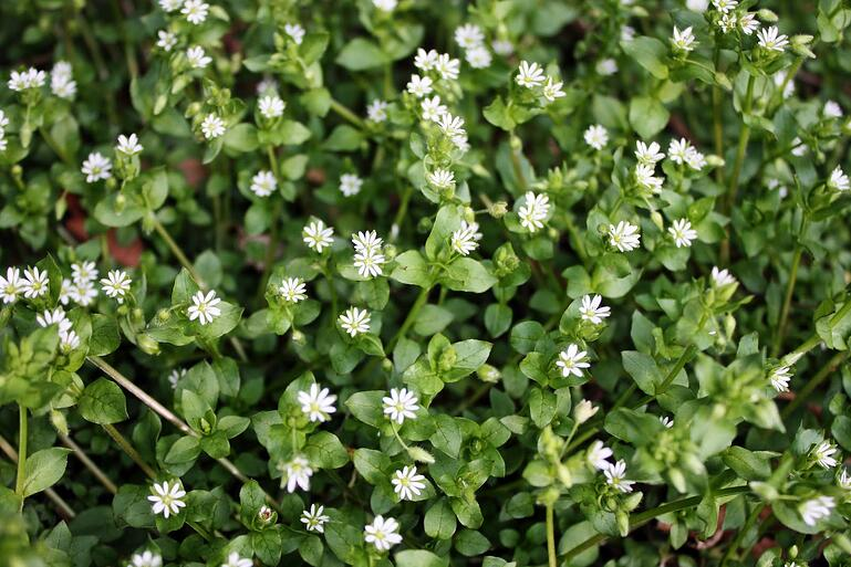 Common Chickweed in grass