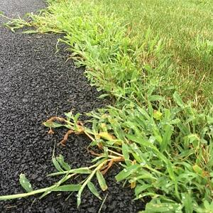 Crabgrass along edge of pavement-070700-edited