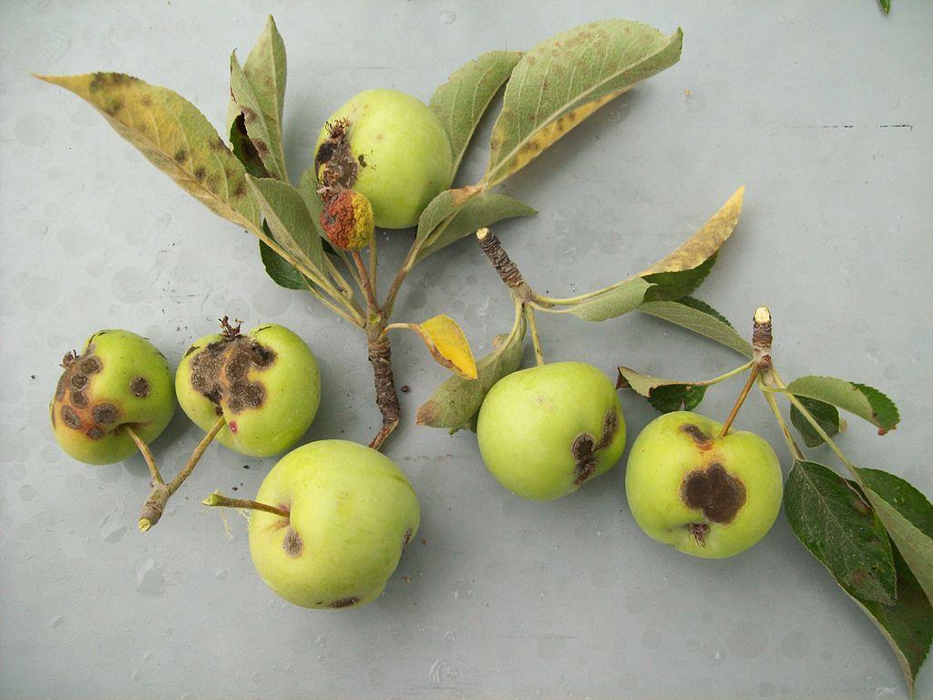 Apple scab fungus