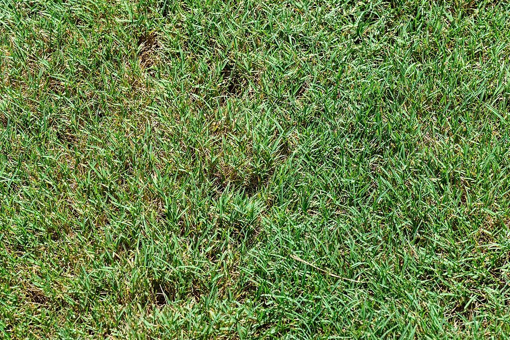 Bentgrass lawn weed