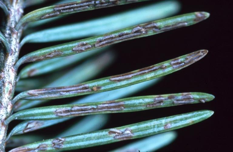 Needlecasts tree disease