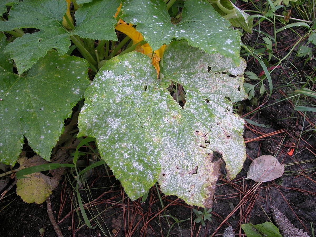Powdery mildew disease