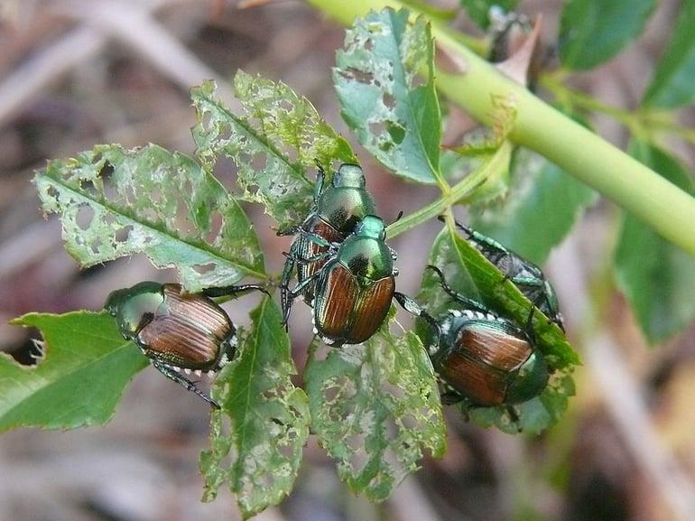 Japanese beetles damaging tree