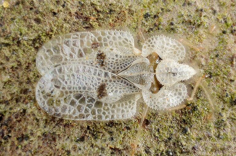 Lace bug tree insect