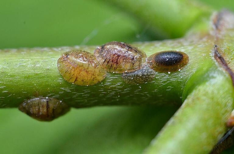 Scale insects damaging tree