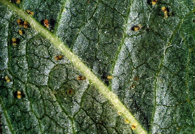 Spider mites eating tree leaves