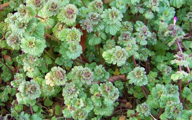 Henbit weed in winter