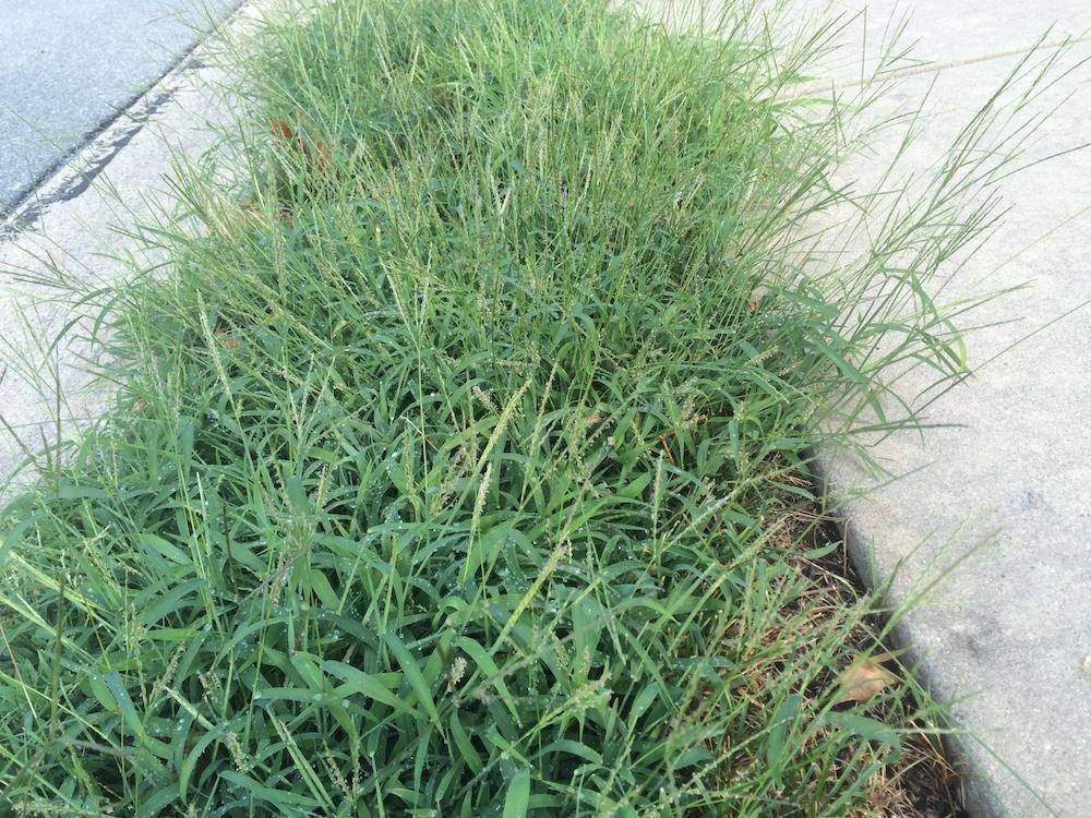 crabgrass control