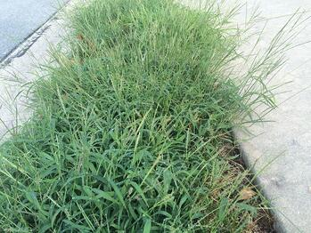 Is it too late for crabgrass preventer in Cincinnati, Dayton, OH or Northern Kentucky?
