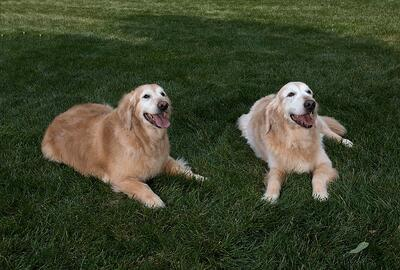 Two dogs lying in shaded grass