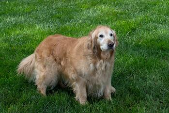 Dog on lawn treated with organic lawn care