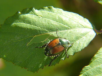 Learn all about Japanese Beetle control, traps, grubs and other important facts.