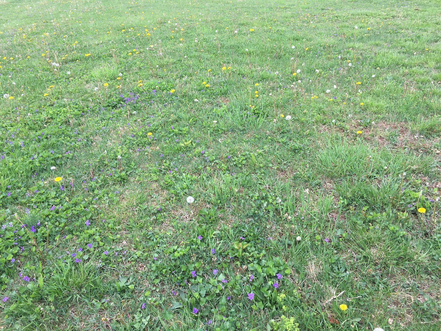 Lawn full of weeds