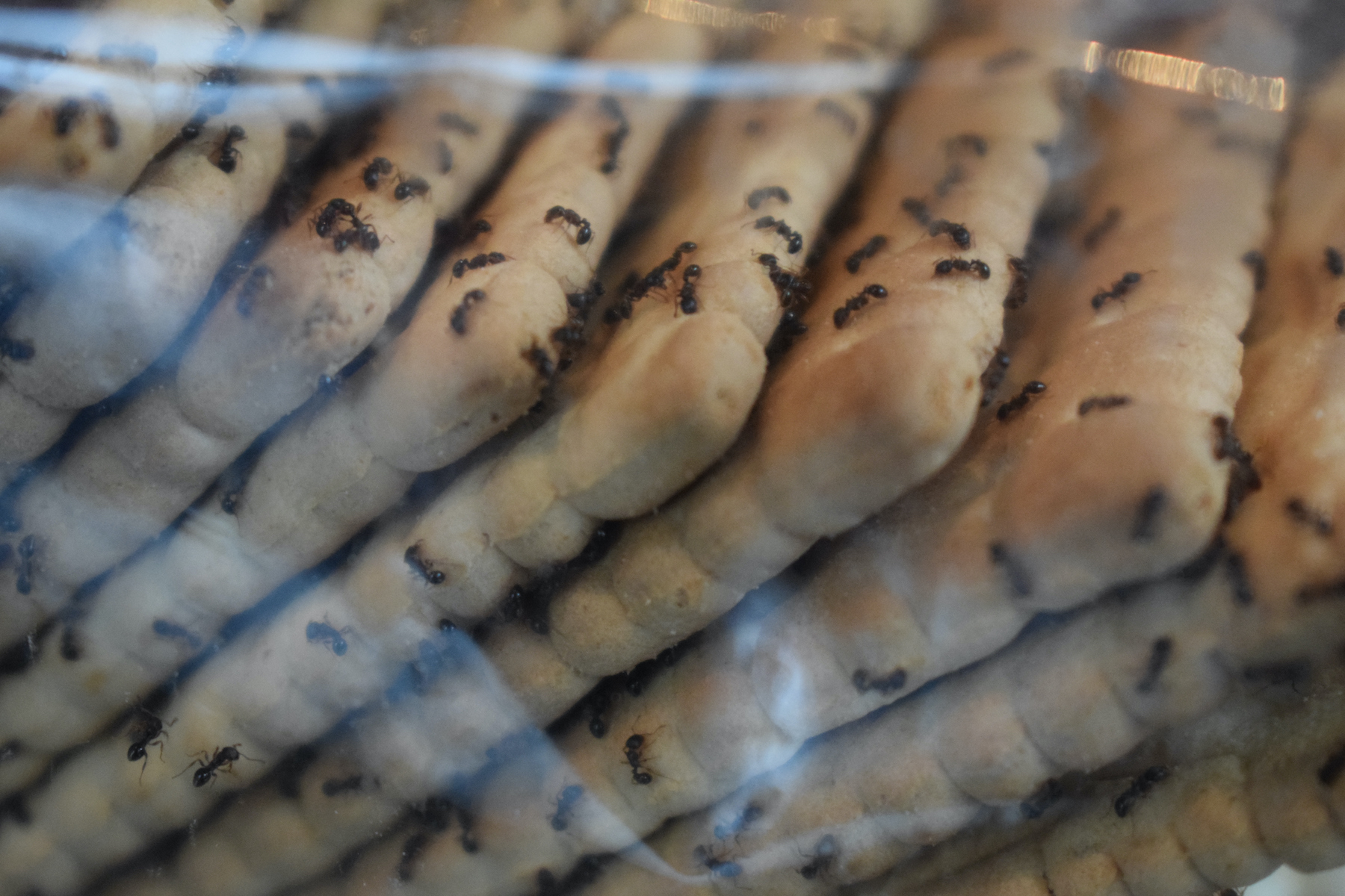 Pest Control- Ants on Food