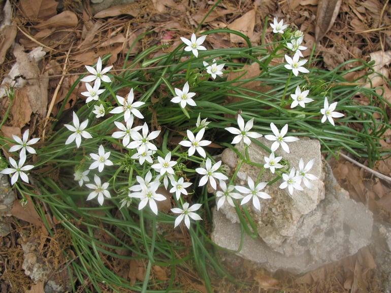 Lawn weed Star of Bethlehem