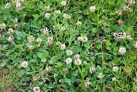 Learn how to identify lawn weeds in Ohio and N. Kentucky and the best time to kill them.