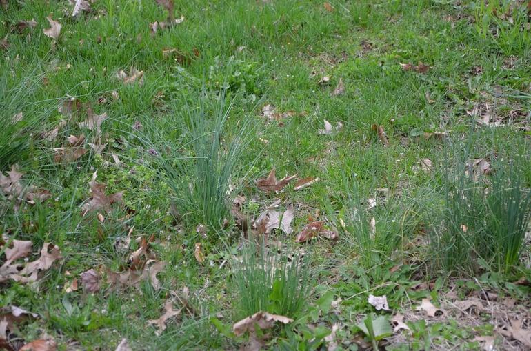 Wild garlic and wild onion in lawn in winter
