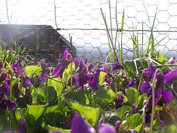 Weed control product needed for violets