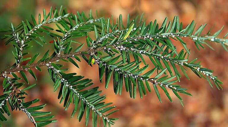 Winter tree insects and mites - Hemlock Woolly Adelgid